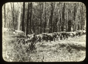 A typical bullock team in Gippsland. Photo courtesy of the State Library of Victoria.